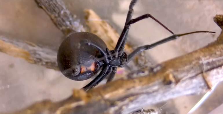 паук черная вдова