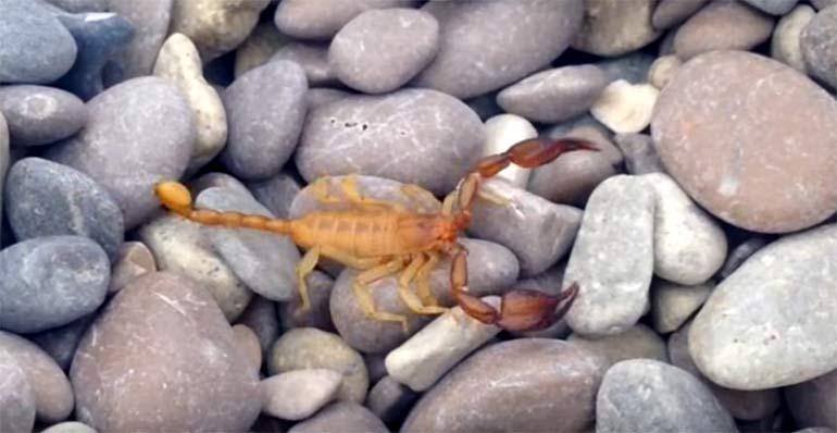 скорпион на галечном пляже