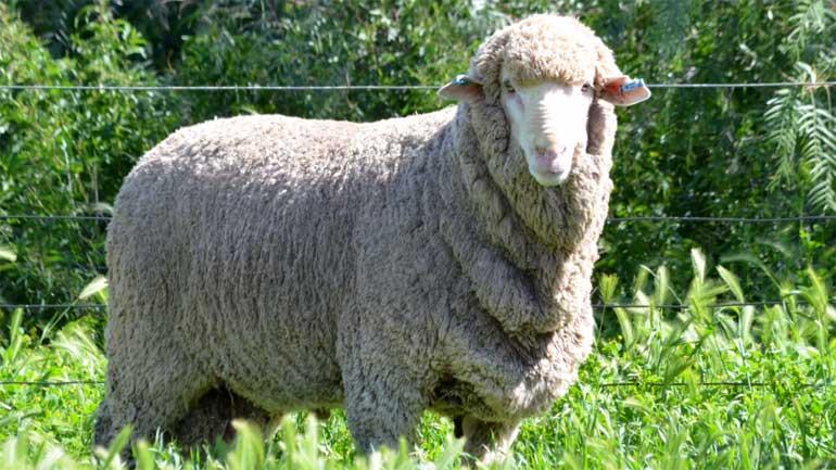Овца породы Меринос