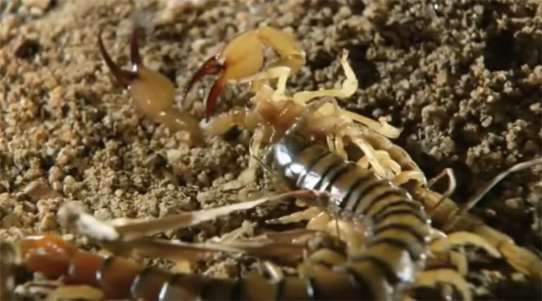 поймала скорпиона
